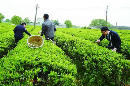我县成立茶叶产业联盟