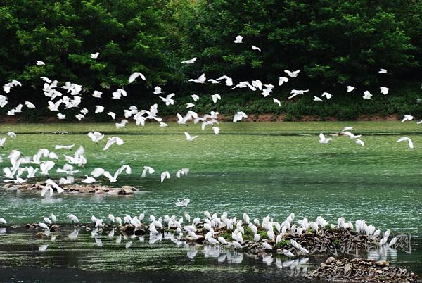巨屿沙洲白鹭翔集