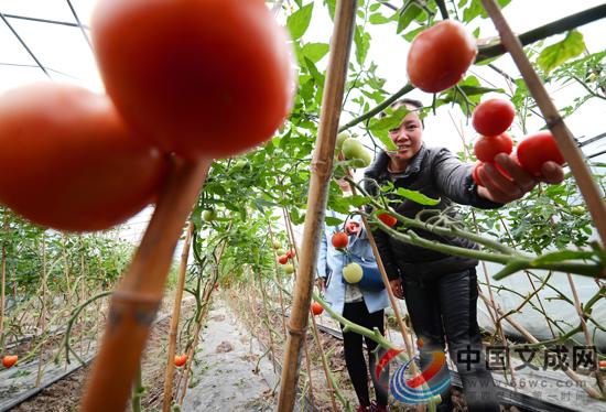 渡渎村规模试种大棚番茄  撬动农业经济新增长点