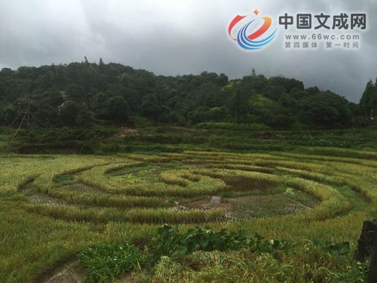 周山水稻大面积倒伏