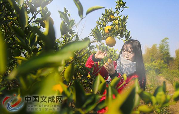 双桂瓯柑熟了,等你来采摘!