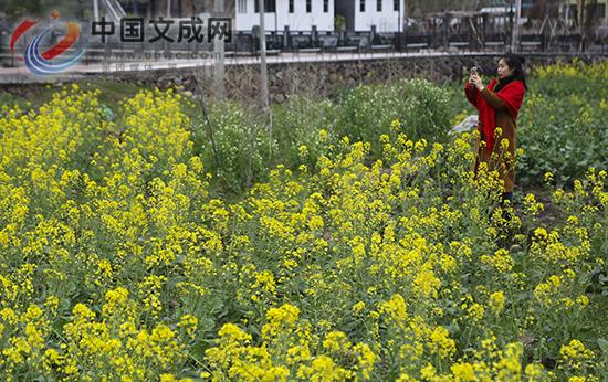 春日美如画,最是玉壶油菜花