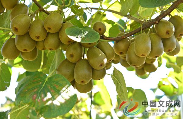 南田高山红心猕猴桃进入采摘旺季