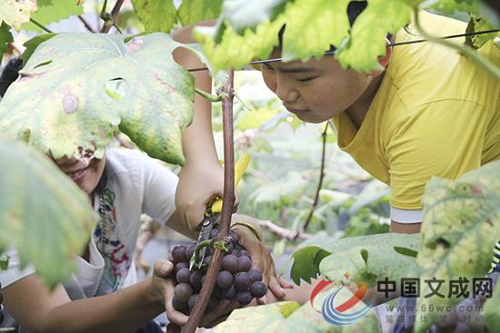 葡萄成熟迎客来 一起来品品这盛夏的果实