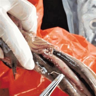 温州人爱吃的子梅鱼肚子里居然有白色的小虫在蠕动
