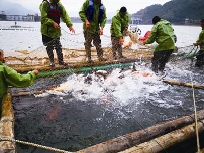 限量!今年珊溪水库包头鱼上市量不超过40万斤
