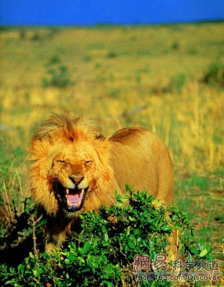 动物世界狮子捕猎