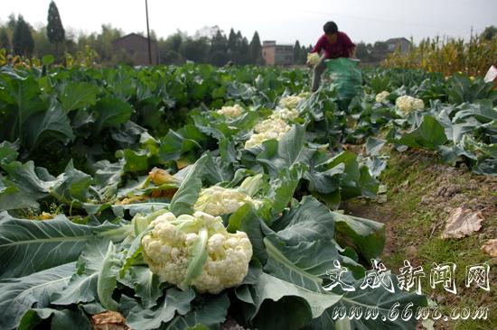 今年他种植了两亩地的秋季花菜