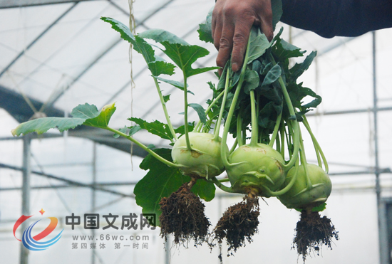 西兰苔是由西兰花与芥兰杂交选育而成的一种新型蔬菜,主要以肥嫩的花